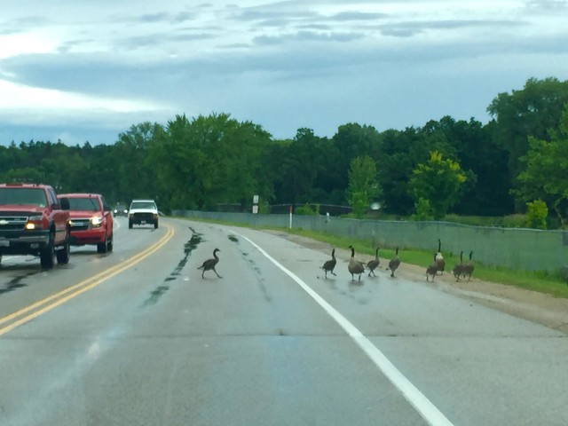 Why did the Goose Cross the Road
