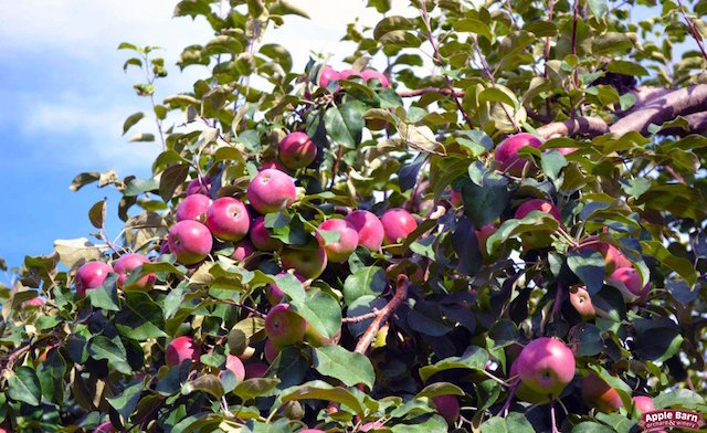 The Apple Barn Orchard & Winery in Elkhorn Harvesting