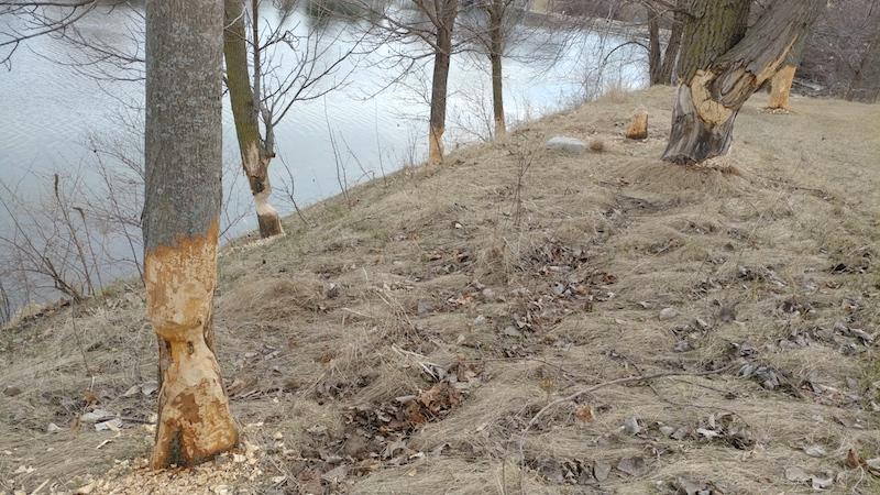 Busy Beavers in Delavan