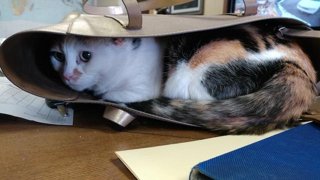 Gwen the GSR cat