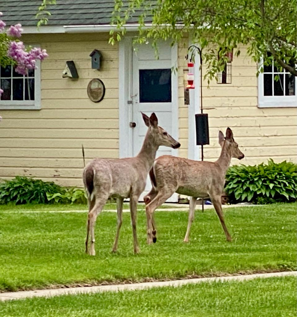 Deer in Lake Geneva