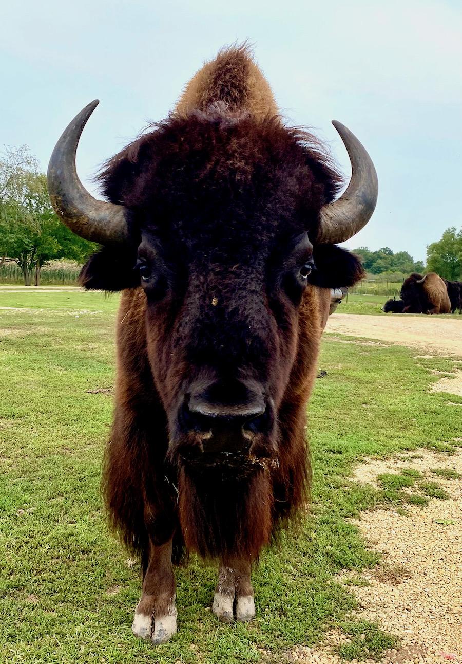Bison and Lake Geneva Safari park
